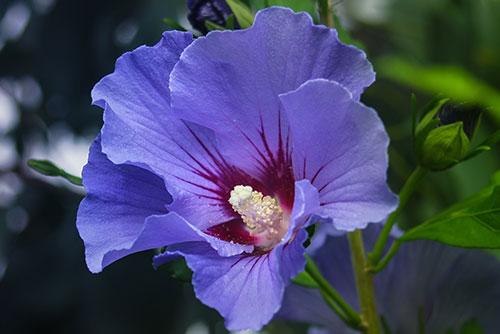 Blue flowering hibiscus tree