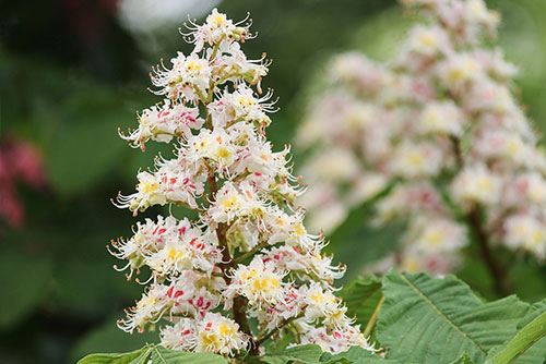 White flowering buckeye tree