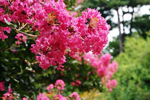 Pink flowering crape myrtle tree