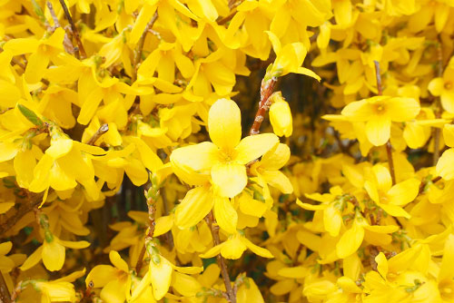Yellow flowering forsythia tree
