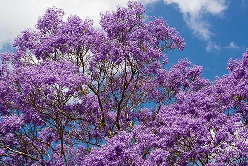 Purple flowering jacaranda tree
