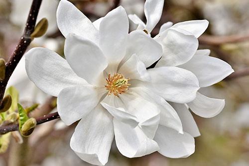 White flowering magnolia tree