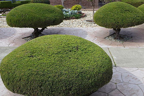 Pruning trees and shrubs shaped evergreens