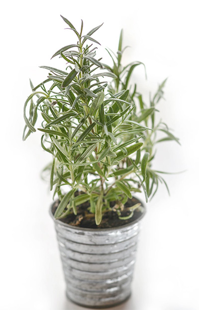 rosemary herb planted in pot